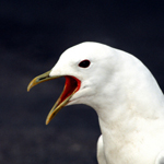 seagull_150